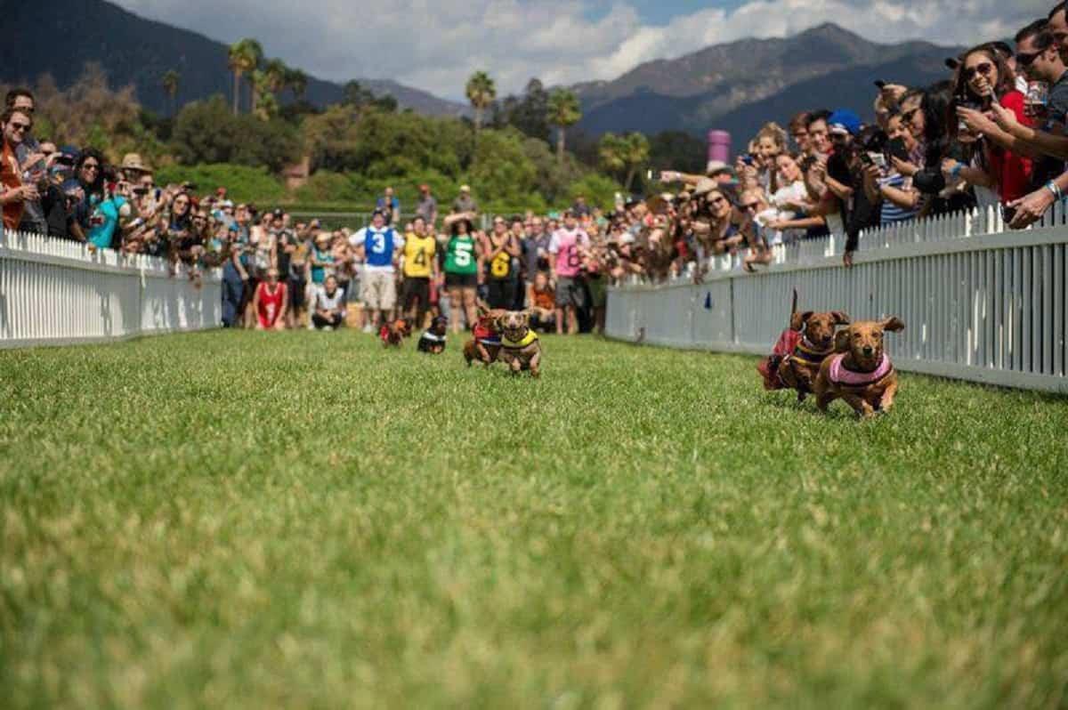 Weiner dog race at Hops & Vine