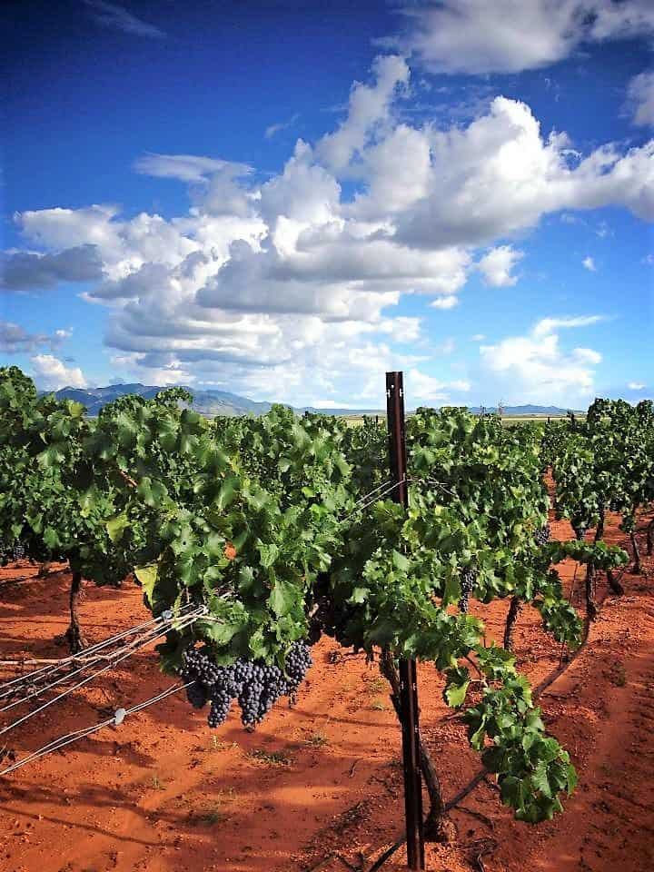 Callaghan Vineyards grapevines