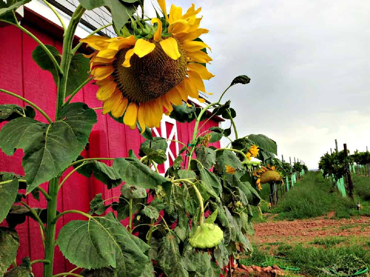 Hannah's Vineyard sunflower and building