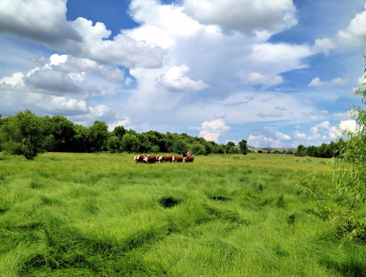 Sonoita Cowboy and cows scenery