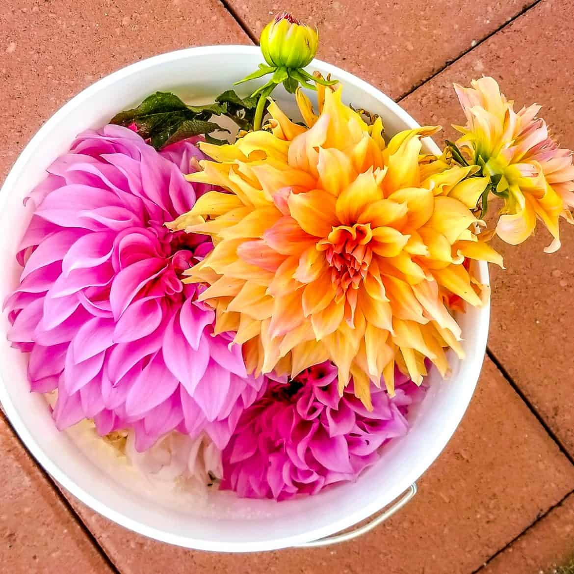 Pink and yellow dahlias in a white bucket
