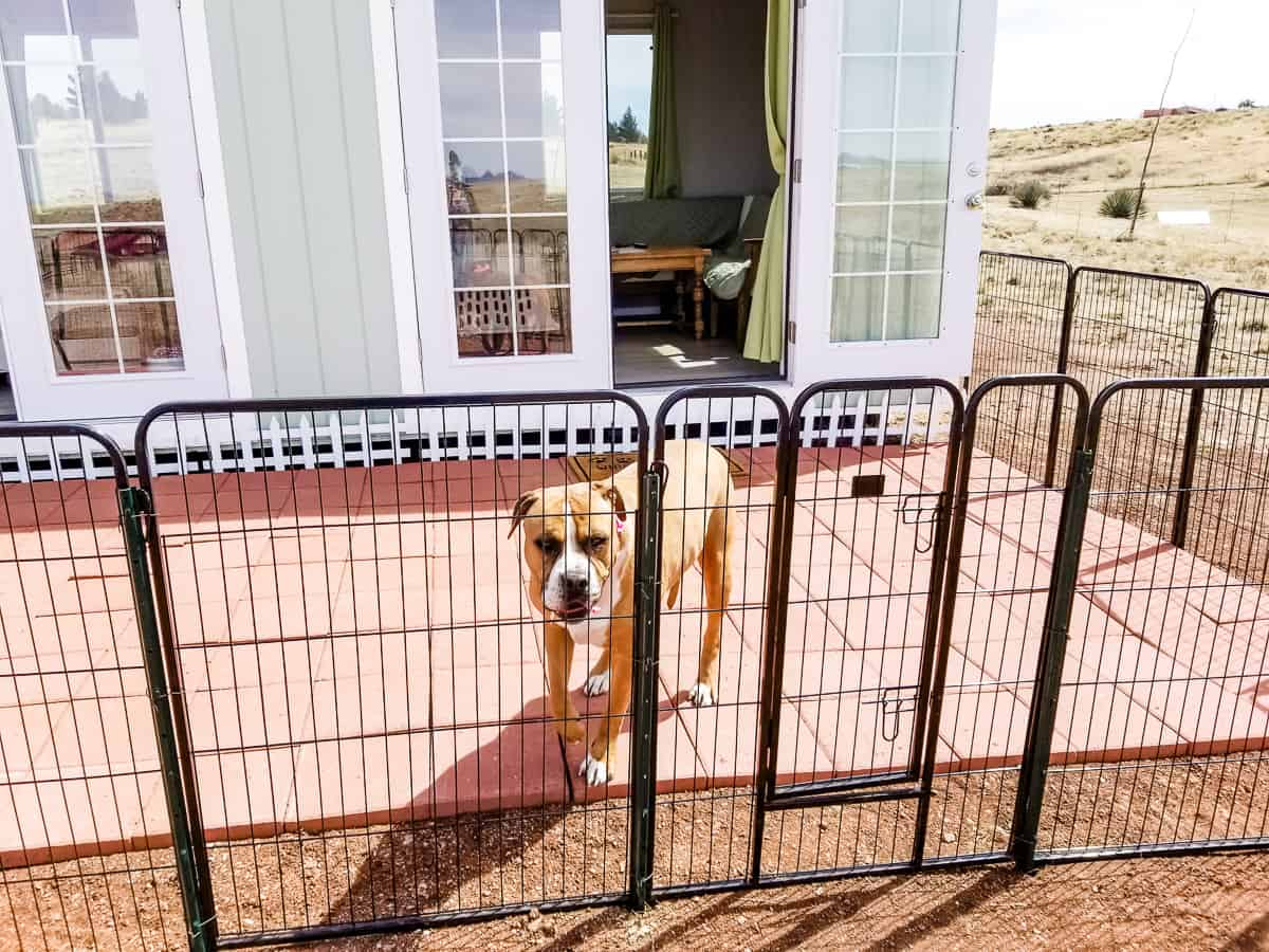 Big dog in fenced in area around she-shed