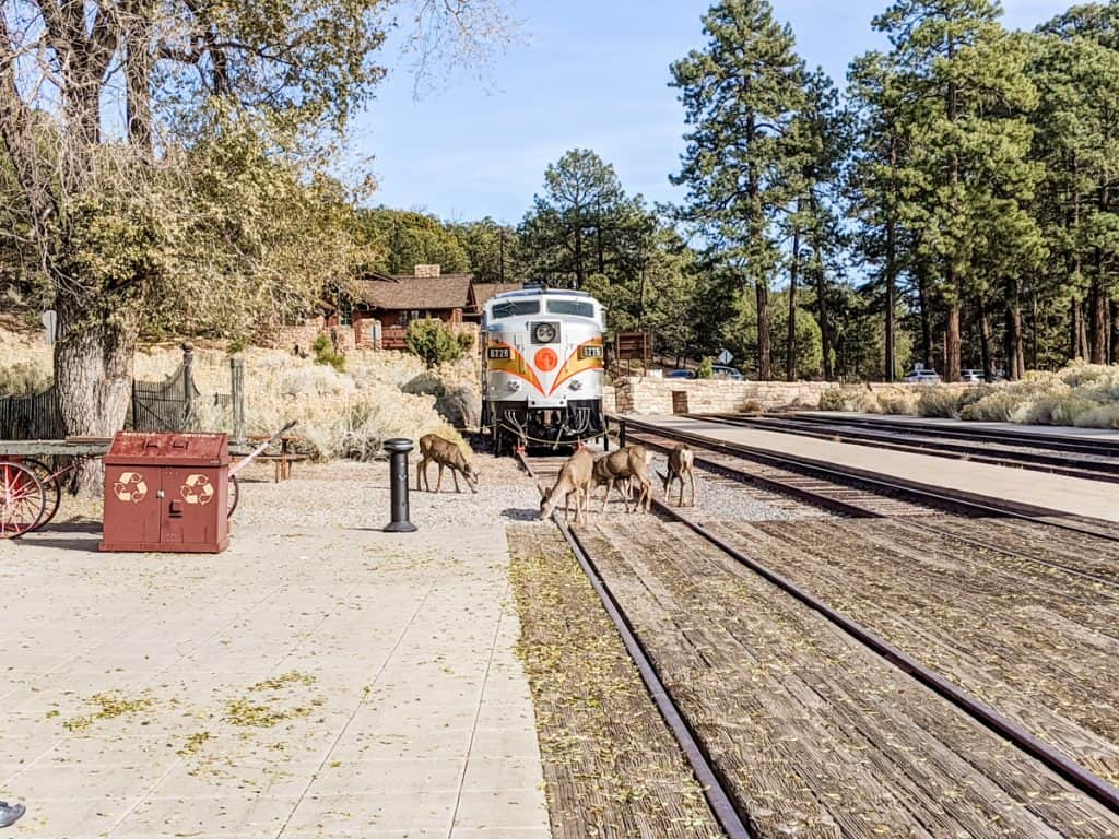 The front of a train with a herd of deer at the Grand Canyon train depot